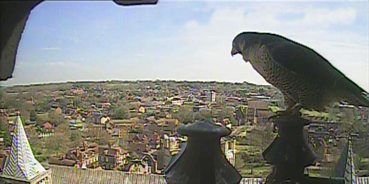 Falcon-cam captures bird's eye view
